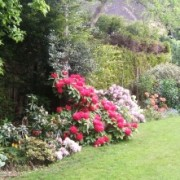 Rhododendrons in bloom (17/02/2012) Added by Alan Mowat