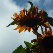 Sunflower 'Ruby Sunset' from seed to 12' high (Oct 2012) (11/10/2012) Added by Anne Adrienne Colley