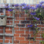 Blue Clematis Added by Alun Williams