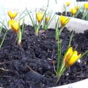 Crocus 'Zwanenburg Bronze' (16/04/2013) Added by Stuart Morris
