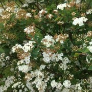 Spirea Added by Barbara