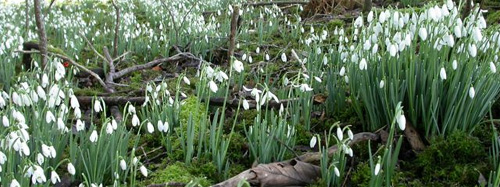 NGS snowdrops gardens to visit