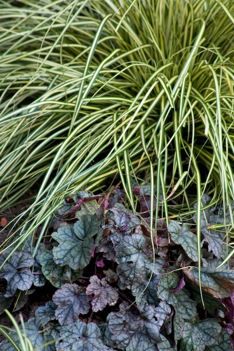 Planting contrast between ornamental grass and Heuchera