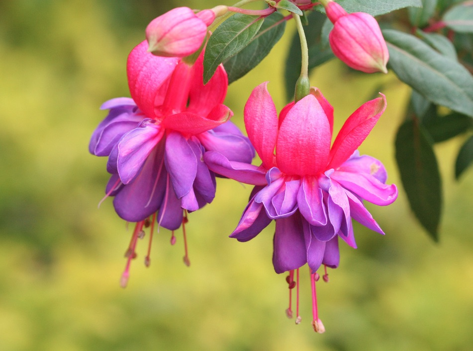 Fuschia plant of the month May