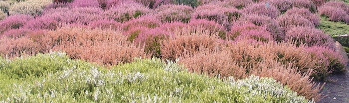 Plant of the month for February - Heathers