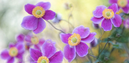 Anemone japonica  or Japanese Anemone Plant of the month August 2011