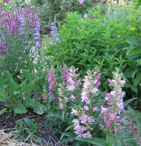 Plant of the month - June 2010 Penstemon