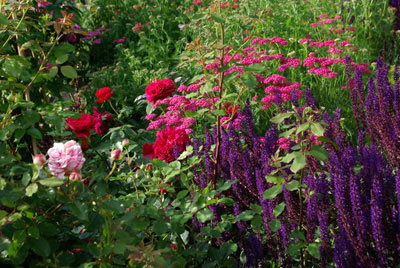 Plant of the month July - Roses