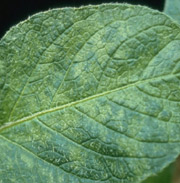 Potato mosaic virus