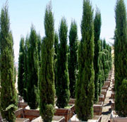 Cupressus sempervirens 'Green Pencil'