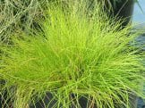 Deschampsia flexuosa 'Tatra Gold'