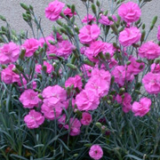 Dianthus 'Tickled Pink'
