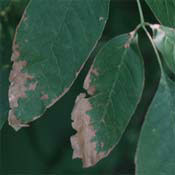 Anthracnose diseases