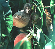Brown rot on fruits