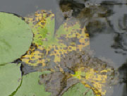 Water lily leaf spot