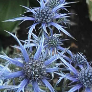 Eryngium bourgatii 'Oxford Blue'