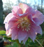 Helleborus x hybridus 'Harvington Double Pink'