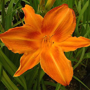 Hemerocallis 'Burning Daylight'