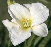 Hemerocallis 'Gentle Sheperd'