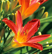 Hemerocallis 'Red Precious'