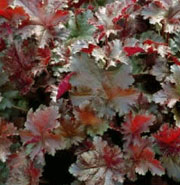 Heuchera 'Chocolate Ruffles'