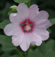 Lavatera x clementii 'Barnsley Baby'