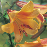 Lilium African Queen Group