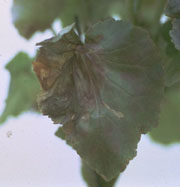 Eelworms (leaf and bud)