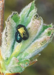 Leaf beetles (willow and poplar)