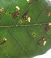 Leaf mining moths