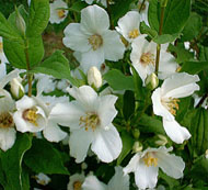 gluck mock orange poetry Poetry fix - episode | mary karr and christopher robinson discuss louise gluck's poem mock orange.