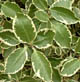 Pittosporum 'Garnettii'