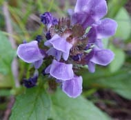 Prunella vulgaris