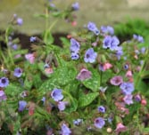 Pulmonaria officinalis Cambridge Blue Group