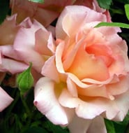 rosa 39 compassion 39 rose repeat flowering climber care plant varieties pruning advice. Black Bedroom Furniture Sets. Home Design Ideas