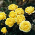 Rosa 'Golden Wishes'