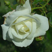 Rosa 'New Dawn White'