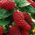 Rubus Tayberry Group