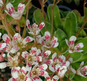 Saxifraga Southside Seedling Group
