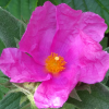 Cistus x pulverulentus 'Sunset' (Rock rose 'Sunset')