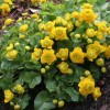 Caltha palustris 'Plena' (Marsh marigold 'Plena')