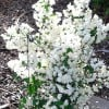 Philadelphus coronarius (Mock orange)