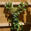 Hedera helix (Common English ivy)