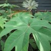 Tetrapanax papyrifer 'Steroidal Giant' (Rice paper plant 'Steroidal Giant')