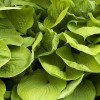 Hosta 'Sum and Substance' (Plantain lily 'Sum and Substance')