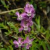 Lychnis viscaria (Sticky catchfly)