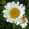 Anthemis 'Tetworth' (Anthemis 'Tetworth')