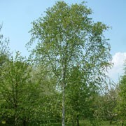 Betula utilis var. jacquemontii added by Shoot)