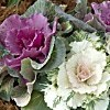 Brassica oleracea 'Northern Lights Mix' (Ornamental kale 'Northern Lights Mix')