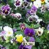 Viola x wittrockiana 'Can Can' (Pansy 'Can Can')
